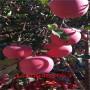 首富苹果苗、首富苹果苗种植和养护