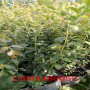 成活率高的2年生蓝莓苗怎么栽植