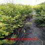 瑞卡藍莓苗、瑞卡藍莓苗新報價