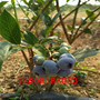3公分的组培蓝莓苗批发货真价