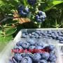 莱格西蓝莓苗、莱格西蓝莓苗物美价廉