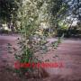 珠宝蓝莓苗新品种介绍大全