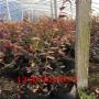 北高丛蓝莓苗市场分析