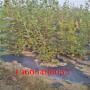 奥罗拉蓝莓苗、奥罗拉蓝莓苗管理步骤