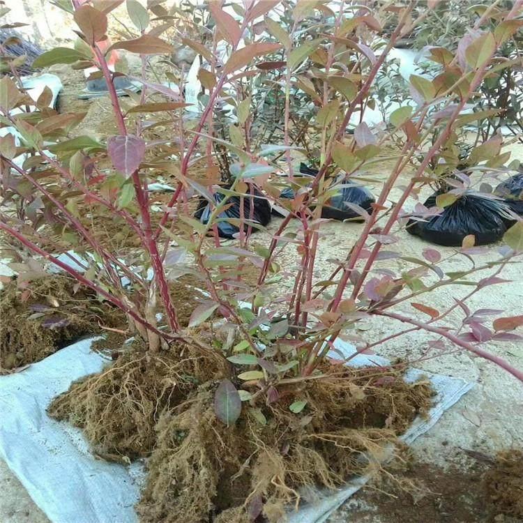 2022歡迎訪問##  牡丹江耐寒藍莓苗多少錢  ##咨詢