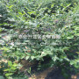 山东蓝莓树苗、山东蓝莓树苗价格及报价