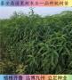桃树苗品种【鼎诺#农业】早48黄金油桃苗哪里有卖