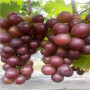 深紅無籽葡萄苗2公分種植技巧