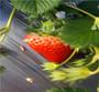 新闻:河南新乡草莓苗多少钱一棵