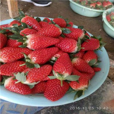 歡迎#寧波草莓種苗報價