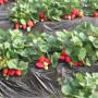 新闻;商城%咖啡草莓苗多少钱【基地@直销】