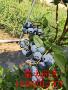 陜西酷派藍莓苗黃葉病怎么預防 藍莓苗