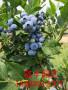 湖北2年蓝莓苗品种好吃 蓝莓苗
