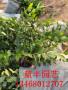 湖南都克藍莓苗地栽 藍莓苗
