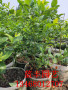 广东奥尼尔蓝莓苗注意事项 蓝莓苗
