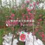 新品种烟富10号苹果树苗价格及报价