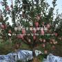 众成3号苹果树苗多少钱、众成3号苹果树苗多少钱一棵