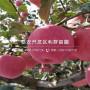 红富士苹果树苗价格、红富士苹果树苗价格及基地