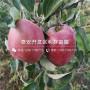 華玉蘋果樹苗、華玉蘋果樹苗批發價格