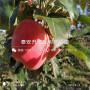 长枝苹果树苗报价、长枝苹果树苗价格及基地