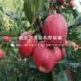 1公分蜜脆苹果苗、1公分蜜脆苹果苗价格及报价