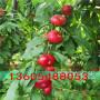 高糖濃香的齊魯巨紅桃樹苗、齊魯巨紅桃樹苗價格多少錢