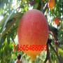 世紀之星2號桃樹苗此處多少錢一株、世紀之星2號桃樹苗想問問哪家的苗好