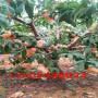 坐果多早豐產的中油27號桃樹苗、中油27號桃樹苗新品管理技術