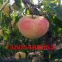 甜黄金桃树苗超低价批发、甜黄金桃树苗哪里