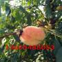 耐挂果的美国黑桃树苗、美国黑桃树苗常见的病虫害防治方法