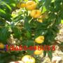 水蜜桃树苗报价多少钱一颗、水蜜桃树苗每天价格
