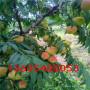 名声在外的美国黑桃树苗有多少种