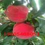珍品王桃樹苗是哪里的、珍品王桃樹苗報價多少錢一顆
