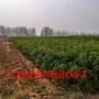 結果大的鷹嘴桃樹苗、鷹嘴桃樹苗有哪些特點?