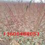 金黃金桃樹苗適合什么地方種植、金黃金桃樹苗出廠價