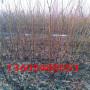 黄金脆桃树苗厂家地址、黄金脆桃树苗大量批发什么价格