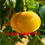 又香有甜的黃桃苗口感好嗎