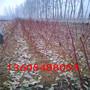 中华血桃苗适合什么地区栽植、中华血桃苗一级树苗卖多少钱每株