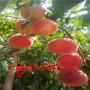 春雪桃樹苗、春雪桃樹苗哪里