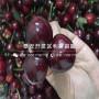 新品種柯迪亞櫻桃苗、新品種柯迪亞櫻桃苗價格及報價