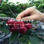 山东3公分大樱桃树苗、山东3公分大樱桃树苗零售价格