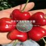 新品种黑兰特樱桃树苗、黑兰特樱桃树苗价格多少