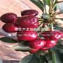 吉塞拉矮化樱桃苗、吉塞拉矮化樱桃苗上车价格