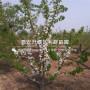3公分马什哈德樱桃树苗价格