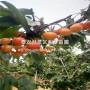 龙冠樱桃树苗、龙冠樱桃树苗基地及报价