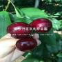 馬什哈德櫻桃樹苗報價、馬什哈德櫻桃樹苗價格及基地