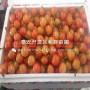 明珠櫻桃樹苗、明珠櫻桃樹苗春季價格