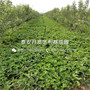 圣诞红草莓苗价格