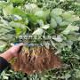艷麗草莓苗今日報價