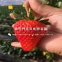 山東京御香草莓苗